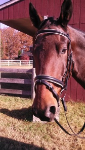 Ike sporting his new Vespucci bridle from World Equestrian Brands.