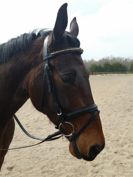 Ike with new browband March 2016
