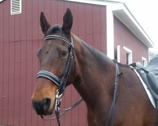 Ike in double bridle 2